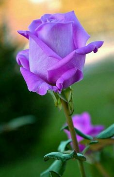 bare root hybrid tea roses on sale Beautiful Rose Flowers, Pretty Roses, Love Rose, Flowers Nature, My Flower, Beautiful Flowers, Flower Art, Lavender Roses, Purple Roses