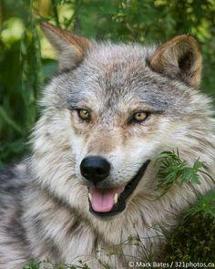 Grey Wolf by Mark Bates