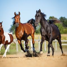 Daily Dose - April 2, 2017 - On the Run - Arabian and Pinto Horses     2017©Barbara O'Brien Photography