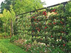 Fruit Garden, Edible Garden, Espalier Fruit Trees, Orchard Design, Sloped Garden, Vegetable Garden Design, Vegetable Gardening, Fence Landscaping, Plantation