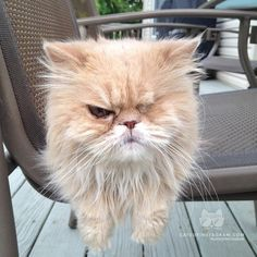 """From @SarahhhDeLucca: """"This is fuzzy, my 12-year-old one-eyed persian who is a miracle kitty. He has been through so much, but he is spoiled like a king, rightfully so, and loves to be outside."""" #catsofinstagram [catsofinstagram.com]"""