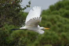 Egret in flight.  Like it? Tip it! http://smalagodi.tip.me http://www.onename.io/malagodi