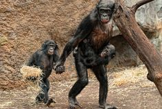 Apes photographed by Jutta Court