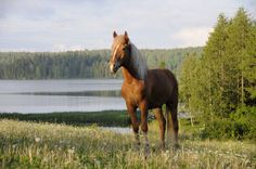 Horses in Finnish Mythology The head of the horse was made of stone, hooves out of rock and legs out of iron. Hevonen = Horse (in Finnish) Iku-Tihku = First . Pretty Horses, Beautiful Horses, Palomino, History Of Finland, Deadly Animals, All About Horses, Fluffy Animals, Wild Nature, My Land