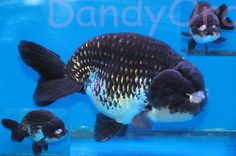 BIG, powerful ranchu in beautiful tri-color. Gold showing through the black really pops.