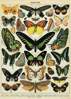 This lovely print features a collection of butterflies marked with scientific names. A wonderful vintage design to use as gift wrap or frame as art. Printed on Italian acid free paper. From Cavallini