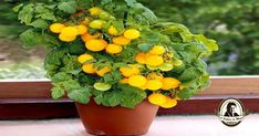 Os tomates devem ser semeados entre Fevereiro e Abril, plantados entre Março e Junho e podem ser colhidos entre Maio e Agosto.