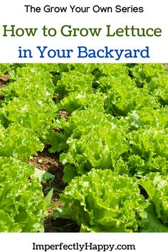 Everything you need to know about growing lettuce in your backyard, raised beds, pots and containers. You can grow your own food! Growing Vegetables At Home, Planting Vegetables, Organic Vegetables, Vegetable Gardening, Sustainable Gardening, Urban Gardening, Sustainable Living, Organic Gardening, Gardening For Beginners