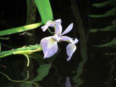 Wild Iris in a Creek