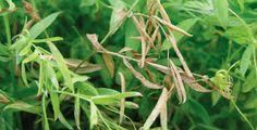 Farming & Agriculture: Pest Management Tips in Red Lentil Crops #urdu