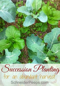 Succession planting is a great way to get an abundant harvest. It does take a bit of planning but once you get the hang of it, it's super easy. Learn the different methods and when to use them. Homestead Gardens, Farm Gardens, Outdoor Gardens, Gardening For Beginners, Gardening Tips, Gardening Books, Veg Garden, Vegetable Gardening, Vegetables Garden