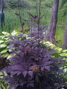 Stunning shade plant: black bugbane (Actaea simplex 'Atropurpurea' Group, black cohosh, black snakeroot). Hardy zones 4-8.