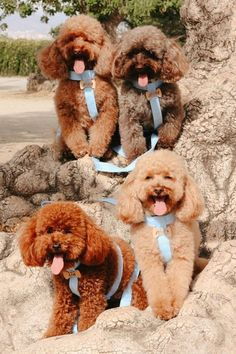 Poodles are considered to be the best breeds to own as there are extremely sensitive and much attached. Poodle puppies are one of the cutest and eye-catching puppies ever. #poodlepuppy #poodlepuppytraining #poodlepuppies #cutepoodlepuppies #dogsandpuppiespoodle #dogsandpuppies #cutedogs