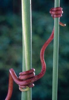 La vid, una de las plantas de cultivo más antiguas que se conocen, cuenta con un zarcillo que le permite agarrarse de manera elegante y flexible a estos resistentes tallos y a cualquier otro objeto.