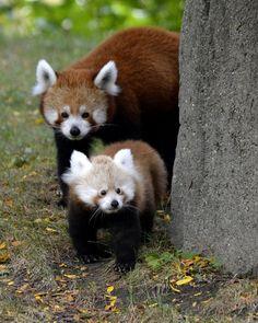 Red Panda cub at Detroit Zoo