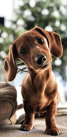 A Lovely Dachshund Dog - 10 Reasons Dachshunds Are The Funniest Dogs If you are a dachshund owner, you must be familiar with - Dachshund Puppies, Weenie Dogs, Cute Dogs And Puppies, Pet Dogs, Dog Cat, Pets, Dapple Dachshund, Puppies Tips, Daschund