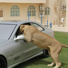 There's nothing to suggest Humaid's pets are anything but legal. | The Rich Guys With Lions Of Instagram