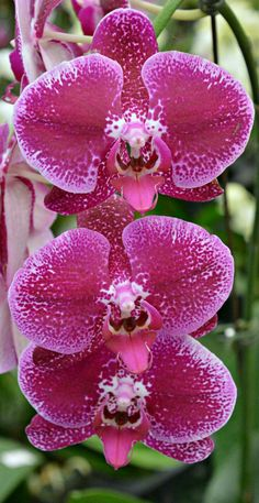 Phalenopsis orchids