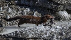 Bringing Home The Bacon (or frog) Amphibians, Mammals, American Marten, Beaver Lodge, Insect Eggs, American Crow, Animal Adaptations, Animal Tails, Chestnut Horse