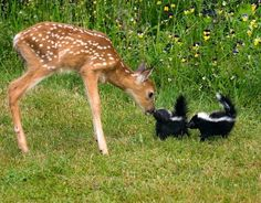 Fawn meeting baby skunks