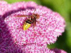Im ganzen Sommer keine einzige Hornisse (Hornet) gesehen, aber dafür waren sie im Herbst sehr fleißig.
