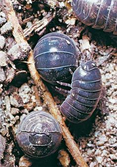 rolypoly bugs  as a child I would touch them just to watch them curl into their little balls.  fascinating creatures.