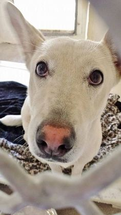 This beautiful young lady is pure love. She just wants to get out and jump in your lap and kiss you all over. She needs help, please take a look at this beauty and SHARE, a FOSTER would save her life and get her a home for the New year. Thanks! #A4787332 I'm an approximately 1 year old female German Shepherd Dog and Siberian Husky. https://www.facebook.com/171850219654287/photos/pb.171850219654287.-2207520000.1419851661./352339691605338/?type=3&theater