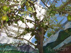 Jícara - a casca desses frutos é utilizada para fazer artesanato e a semente é comestível.
