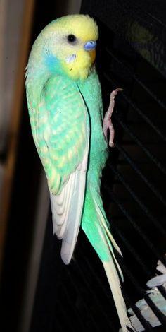 Rainbow Spangle: Yellowface skyblue opaline spangle American Parakeet x English Budgie cross (Toto)