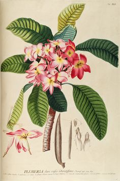 THE FRANGIPANI TREE - Plumeria rubra