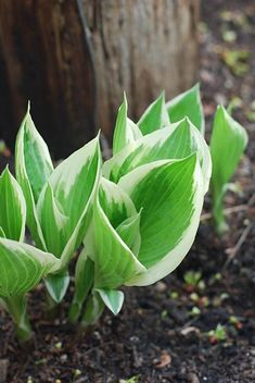Fertilizing Hostas DIY Hosta fertilizer, and how to apply. Hosta Nutrient Mix: 4 parts all-purpose organic granular fertilizer 4-3-3, 1 part blood meal 12-0-0, 1 part bone meal 0-10-0, ¼ part Epsom salts [for magnesium]