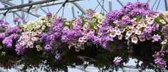 """Contrary to what many gardeners believe, fertilizing your annuals won't cause them to """"bloom out"""" or be done blooming before the summer is over, said Jen Weber, retail manager at Mike Weber Greenhouses, West Seneca. It's just the opposite. """"Petunias, verbena, and calibrachoa need fertilizer every time you water!"""" Weber said. """"Yes, that is correct. Every time."""" Geraniums need to be fertilized three times a week. Begonias, every other week. All other annual flowers need to be fertilized at… Container Gardening, Gardening Tips, West Seneca, Retail Manager, Million Bells, Gardening Magazines, Annual Flowers, Verbena, Begonia"""