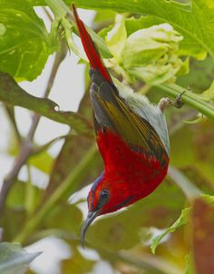 The Temminck's Sunbird (Aethopyga temminckii) is a species of sunbird. It is found in up to 1800 m altitude in Borneo, Sumatra, Malaysia, and south west Thailand.
