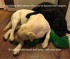 Labrador Quotes, Dog Quotes, Friendship, Labrador Retrievers, Labradors, Pets, Animals, Animals And Pets, Animales