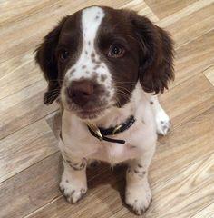 Springer Spaniel Puppies, English Springer Spaniel, Cocker Spaniel, Tiny Puppies, Cute Puppies, Cute Dogs, Baby Animals, Cute Animals, English Dogs