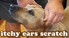 VIDEO, click to watch. A DOG is getting a FREE EAR SCRATCH for having an ITCHY EARS. Pamper or what? Watch more DOG VIDEOS at https://www.youtube.com/DOGSCIRCLE