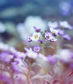 Delicate Purple Flower Photography Print  by TinyDelicateWorld