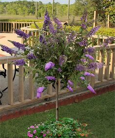 This Live Buddleia 'Blueberry Cobbler' Patio Tree is perfect! #zulilyfinds