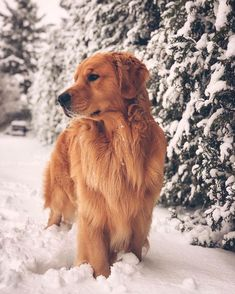 ✔ Sweet puppy Fluffy Golden Retriever # mãedemenina - Cats and Dogs House Fluffy Puppies, Cute Dogs And Puppies, Doggies, Chow Puppies, Puppy Chow, Small Puppies, Cute Funny Animals, Cute Baby Animals, Chien Golden Retriever