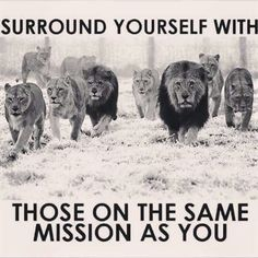 Surround Yourself With Those On The Same Mission As You life quotes quotes quote life motivational quotes inspirational quotes about life life quotes and sayings life inspiring quotes life image quotes best life quotes quotes about life lessons Great Quotes, Quotes To Live By, Lion Quotes, Lion Memes, Quotes Quotes, Tiger Quotes, 2015 Quotes, Funny Quotes, Gandhi Quotes