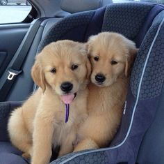 Dogs in cars on Pinterest | Safety First, Cars and Dogs
