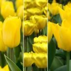 All Season Yellow Tulip Mix (15-Pack)