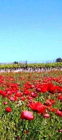 Poppy and vineyard fields in the South of France . . . I just love poppies
