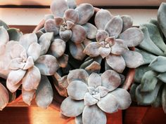 Graptopetalum superb