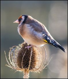 L'Assommoir Goldfinch by Terry Winter
