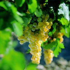 Palomino Fino the undisputed queen of Jerez.  #finofriday #sherrylover #palominofino #wine