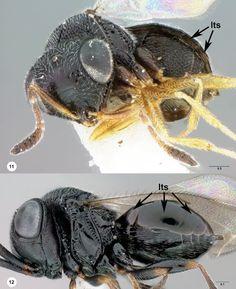 11 Gryon obesum, female 12 Trissolcus euschisti, female