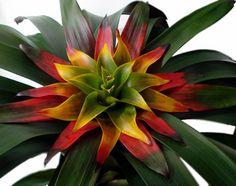 Guzmania Soledo by Nativa Tropical, via Flickr
