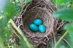 The Bruce Mactavish Newfoundland Birding Blog: The Mythical Black-backed Newfoundland Robin