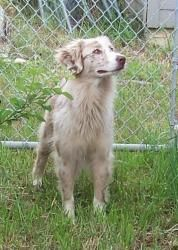 Babe is an adoptable Australian Shepherd Dog in Sanger, TX. Come meet the newest member of your team! Babe, an Australian Shepherd, was found near our City baseball fields looking for someone to play ...